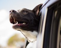 Een hond meenemen in de vrachtwagen. Is dat een goed idee?     