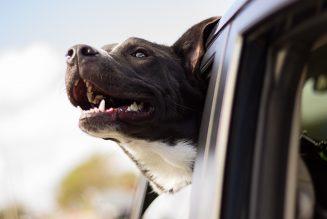 Het ideale maatje voor vrachtwagenchauffeurs: Een hondenleven op de baan