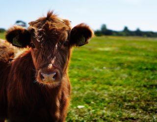 Veewagen wordt voertuig voor dierenbevrijding